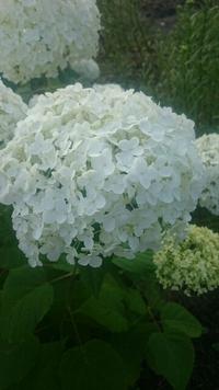 白い紫陽花  梅雨の時期を癒してくれる色とりどりの紫陽花写真集