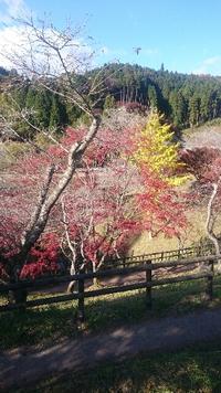 最終日‼     桜と紅葉を楽しむ四季桜祭が、本日終了します。 in 豊田市小原