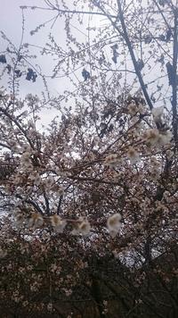 桜の年越し  1月2日現在も四季桜は咲いています、いや、耐えています‼