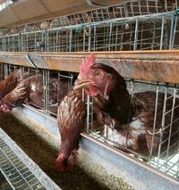 養鶏場の話しますねPart2   小原のたまご屋です。