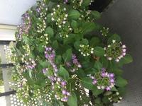 玄関前の紫陽花