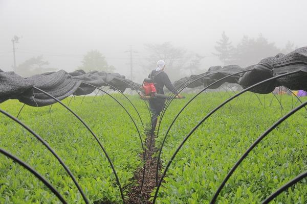 下山高原農場茶摘み♪