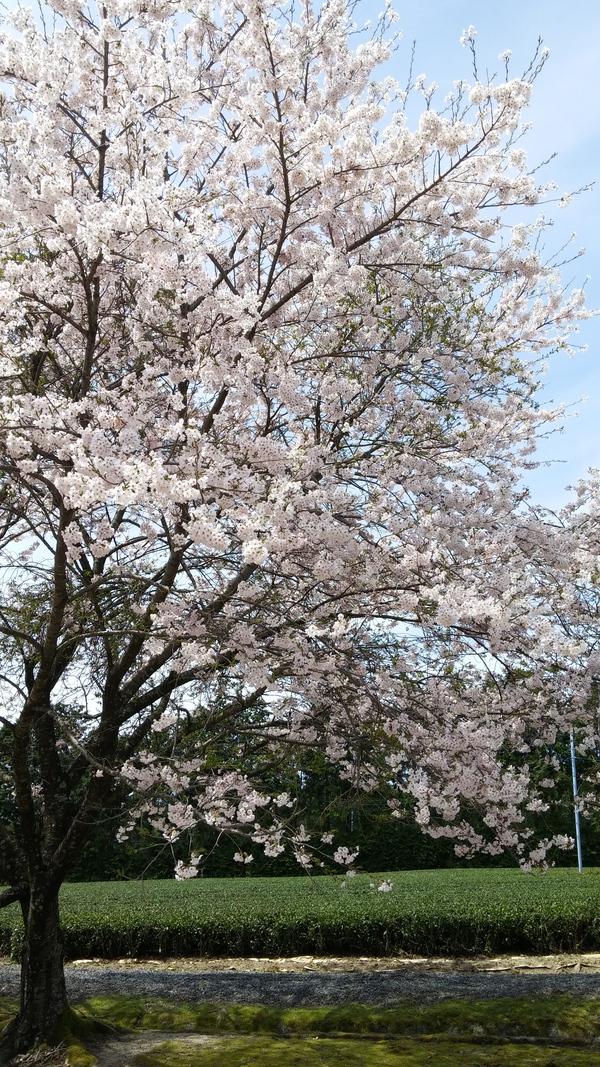 下山の桜が満開☆