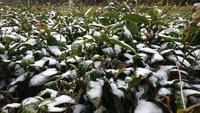 雪中の肥料散布