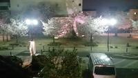 桜満開!ころも農園