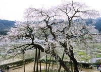 2018年岡崎市奥山田町のしだれ桜まつりのご案内