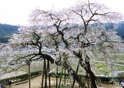 奥山田しだれ桜