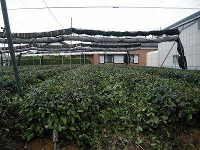 茶畑の更新