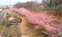 早咲き!河津桜^^