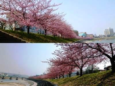 86人の葵桜(河津桜の岡崎の別称?)
