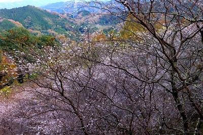 小原の四季桜が見頃