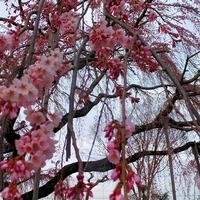 髙橋町の枝垂桜が間もなく見頃