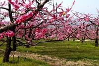 猿投の郷で桃と梨の花が一斉に開花