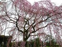 桜の樹の下で終末時計を思う