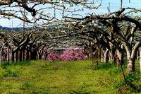 乙部の丘陵地で桃の花と梨の花がランデブー