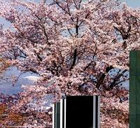 豊田市美術館で思い川桜が見頃