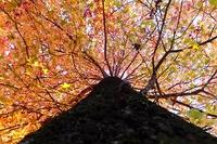 プラタナスは晩秋の標本木