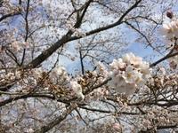 桜満開 その2 2016/04/02 15:12:03