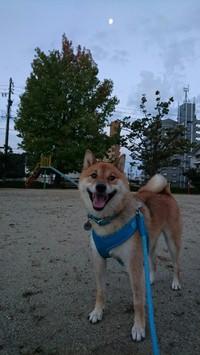 柴犬とひよこ