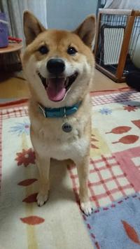 柴犬と白菜