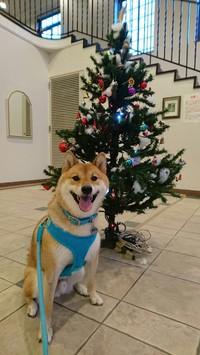 2016年柴犬孝太のクリスマス写真集 その1