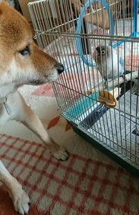 柴犬とインコ