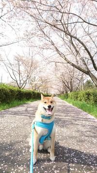 桜のトンネル 2017/04/16 07:35:42