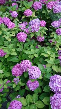 いっぱい咲いてる[紫陽花] 2018/06/15 09:26:28