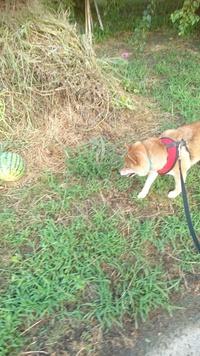 柴犬がスイカを見ているというだけで和む件