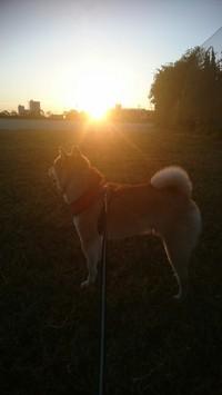 朝日と柴犬