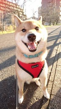 柴犬の良い顔特集