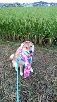 ほっかむりが似合いすぎな柴犬