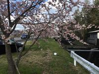 河津桜  キレイでした
