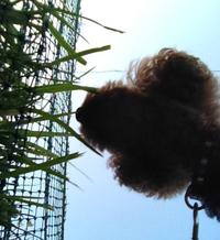 草食うクー (トイプードル 豊田市) 2012/04/18 18:00:00