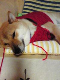 柴犬の冬服製作中
