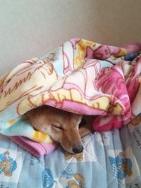 柴犬もチンパンジーも毛布好き