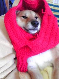 柴犬の冬の服