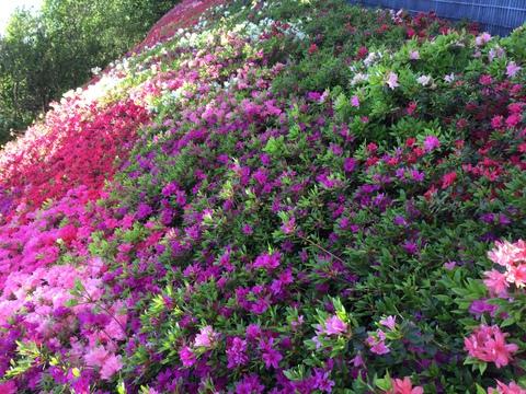 去年のツツジの花