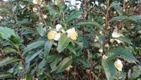 これは、お茶っ葉の花?