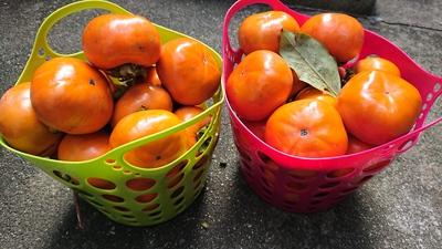 今日のあいかむは、お土産つきだよ~(о´∀`о)【我が家の柿が大収穫】