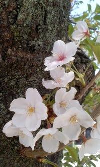 今日の桜城址公園