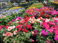 岡崎  農遊館のお花綺麗〜明日は、刈谷で試食会!