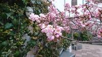 桜が咲いた 春が来た、