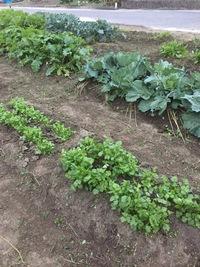畑の野菜たちがぐんぐん育ってます
