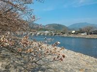 桜咲く京都へ☆嵐山散策