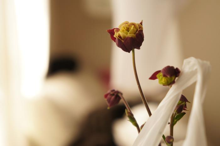 ちゃーりーSガーデン謹製の苧環(おだまき)は室内窓際におります。