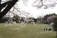 豊田市運動公園で、子ども連れてお花見♪お散歩コースとしてもいい感じ。 2014/04/05 23:33:46