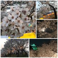 花見・夜桜・岡崎公園・2018