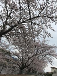 桜。桜。桜。