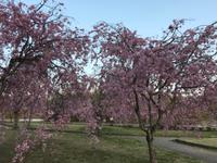 水源の桜。